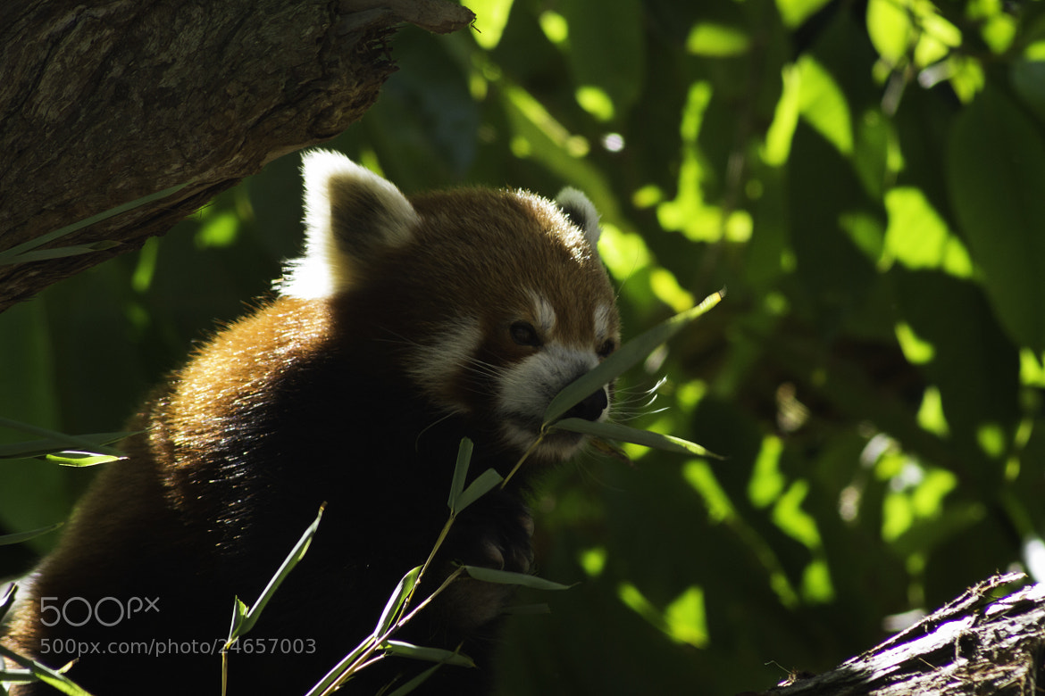 Photograph Cute Red Panda by Carlos Rolfo on 500px