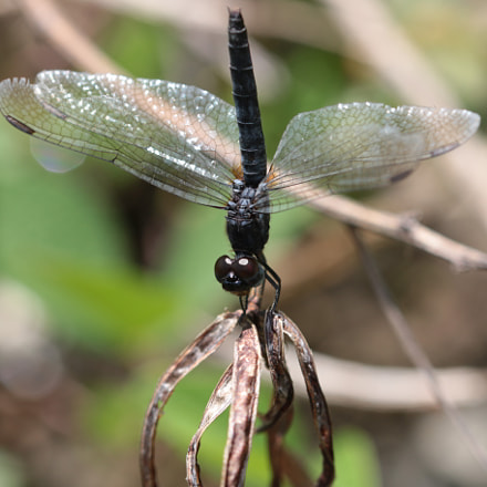 Dragon fly resting on, Canon EOS 70D, Canon EF 22-55mm f/4-5.6 USM