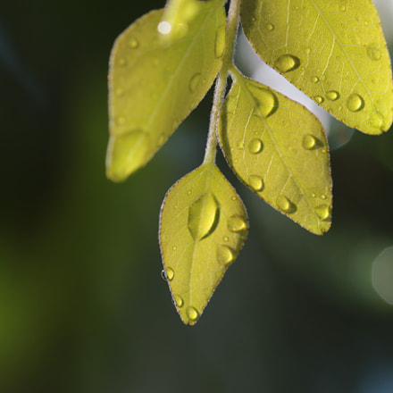 Rain drops on  leaf, Canon EOS 70D, Canon EF 22-55mm f/4-5.6 USM
