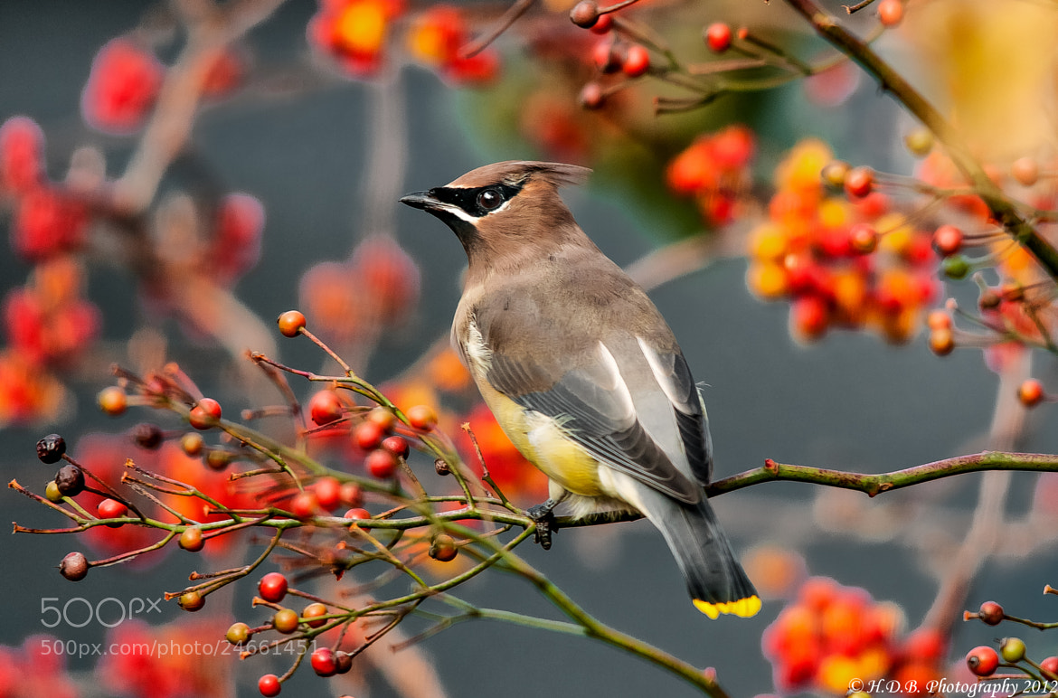 Photograph Ceder  Waxwing by Harold Begun on 500px