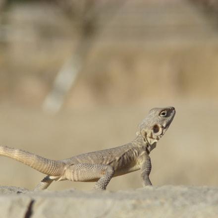 Persepolis Lizard, Sony DSC-H7