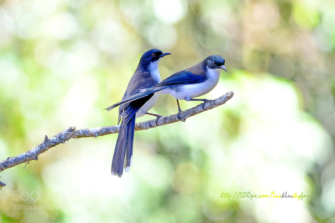 Photograph   black-headed sibia heterophasia  by Luck Luckyfarm on 500px