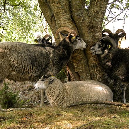 A few sheep by, Nikon E5700