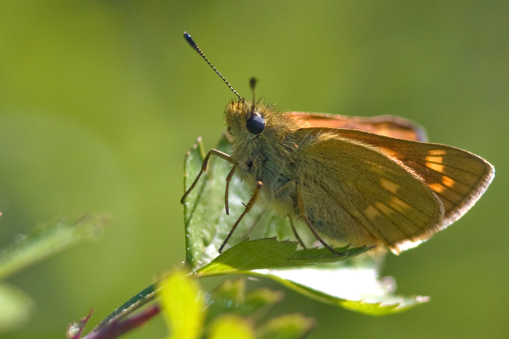 Photograph Large Skipper by Mike Rushton on 500px