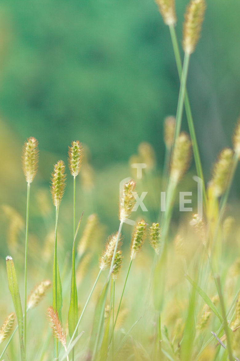 Photograph Green bristle grass in autumn by Liyao Xie on 500px