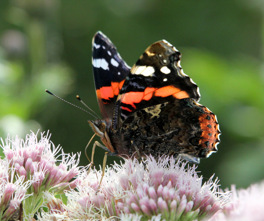 Red Admiral Reporting!