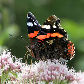 Red Admiral Reporting! by Ger Bosma (GerBosma)) on 500px.com