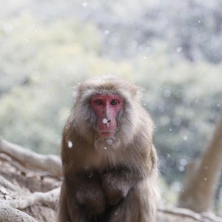 Female Monkey, Canon EOS-1D X MARK II, Canon EF 100-400mm f/4.5-5.6L IS II USM