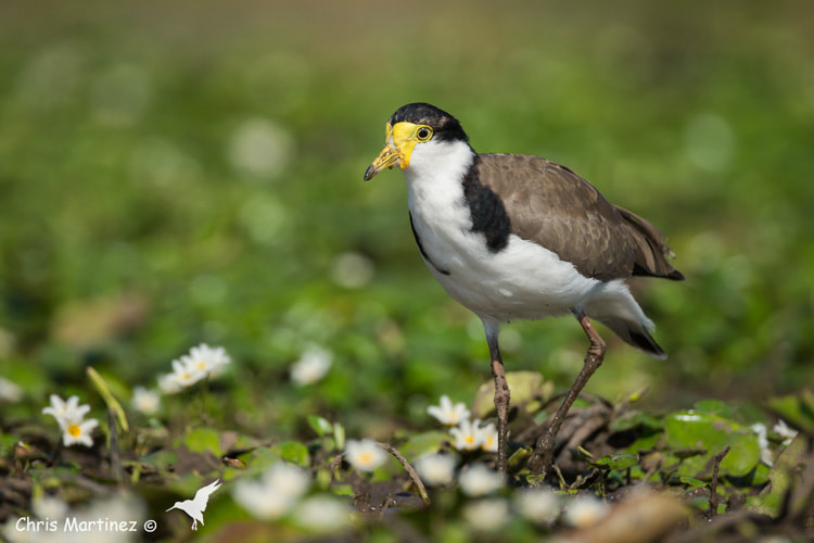 Photograph Masked Lapwing  by Chris Martinez on 500px