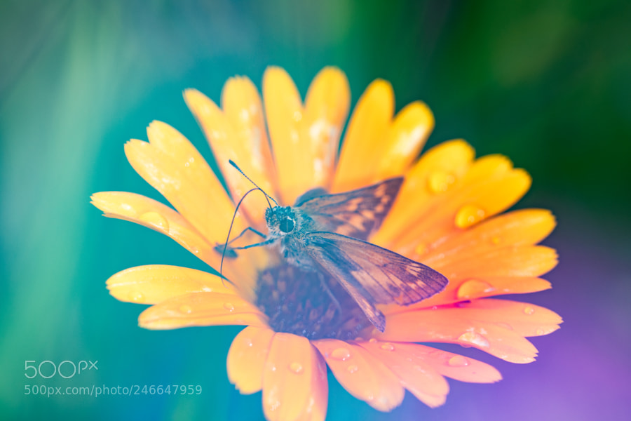 Large skipper on Yellow flower with raindrops