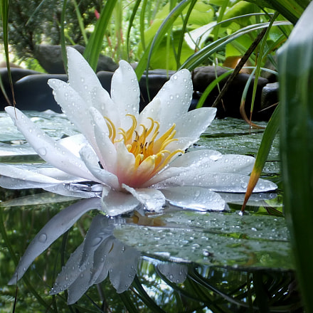 Water lilies 'Marliacea Rosea', Fujifilm FinePix F750EXR