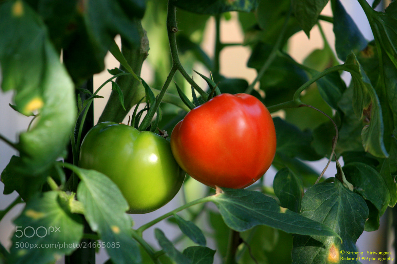 Photograph tomato by Siripong Siriwongnak on 500px