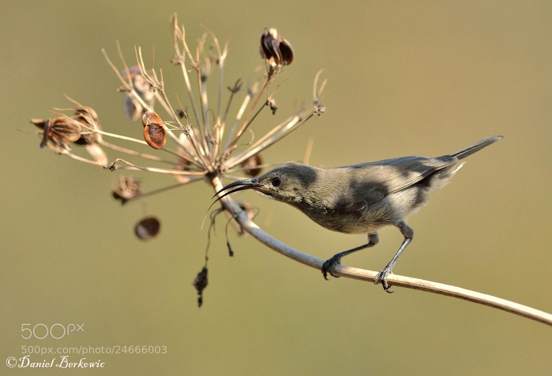Photograph Palestine Sunbird (Cinnyris oseus) F by Daniel Berkowic on 500px