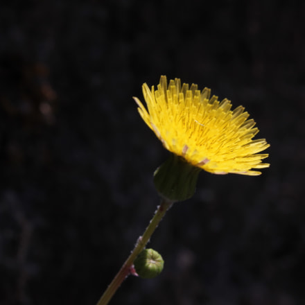 Dandy flower, Canon EOS 550D, Canon EF-S 18-55mm f/3.5-5.6 IS