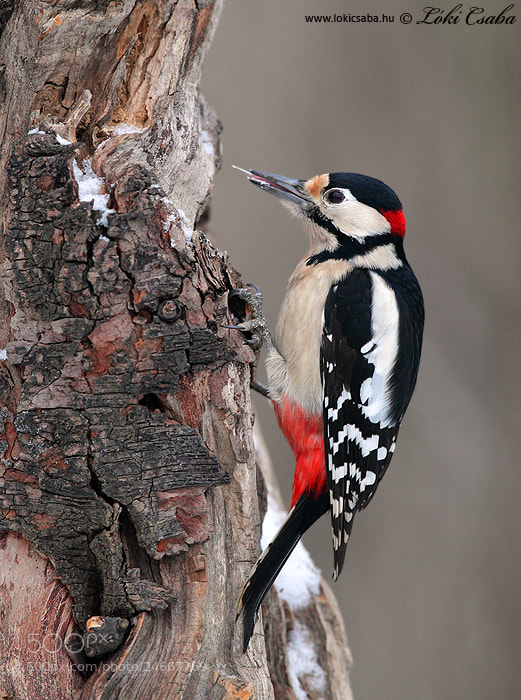 Photograph Great Spotted Woodpecker by Csaba Loki on 500px