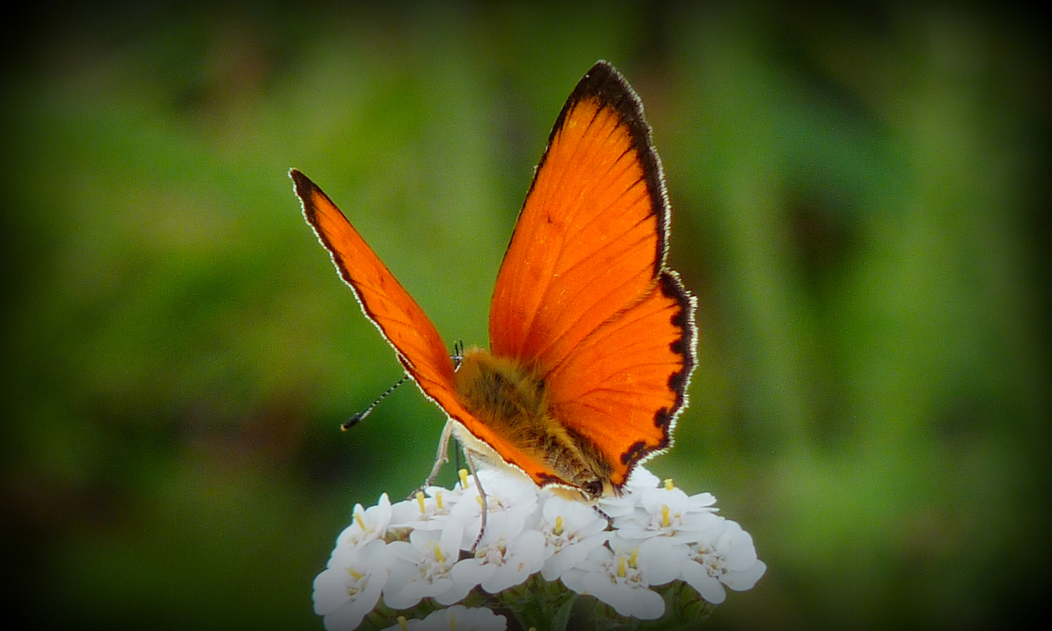 Photograph Lycaena virgaureae by MAURIZIO PONTINI on 500px