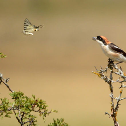 Woodchat shrike vs butterfly, Nikon D7100, Sigma 150-500mm F5-6.3 DG OS APO HSM