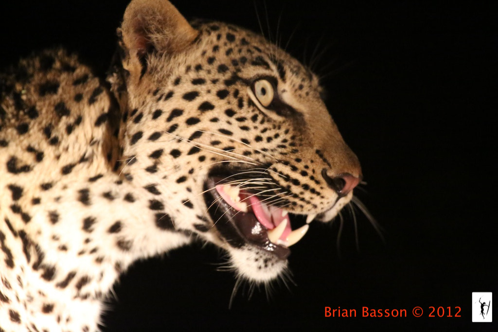 Photograph Leopard Portrait by Brian Basson on 500px