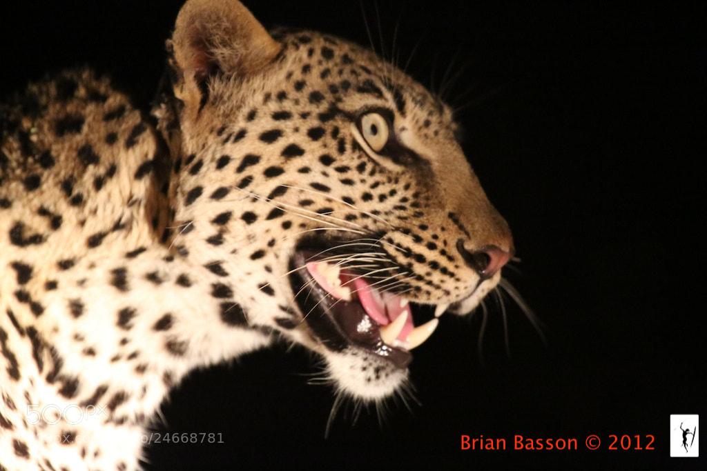 Photograph Leopard Portrait by Brian Basson on 500px