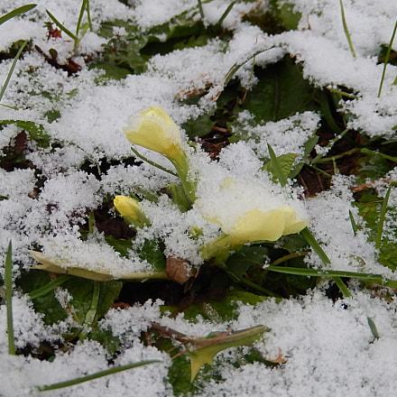 Primula vulgaris Trobentica, Nikon COOLPIX S9500