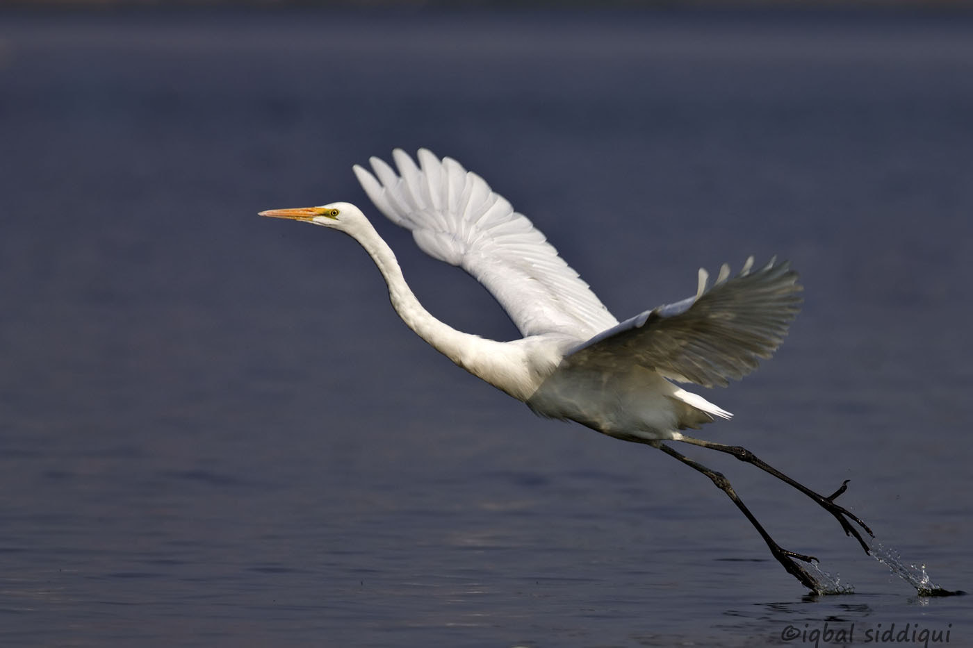 Photograph Great Egret take off  by Iqbal Siddiqui on 500px