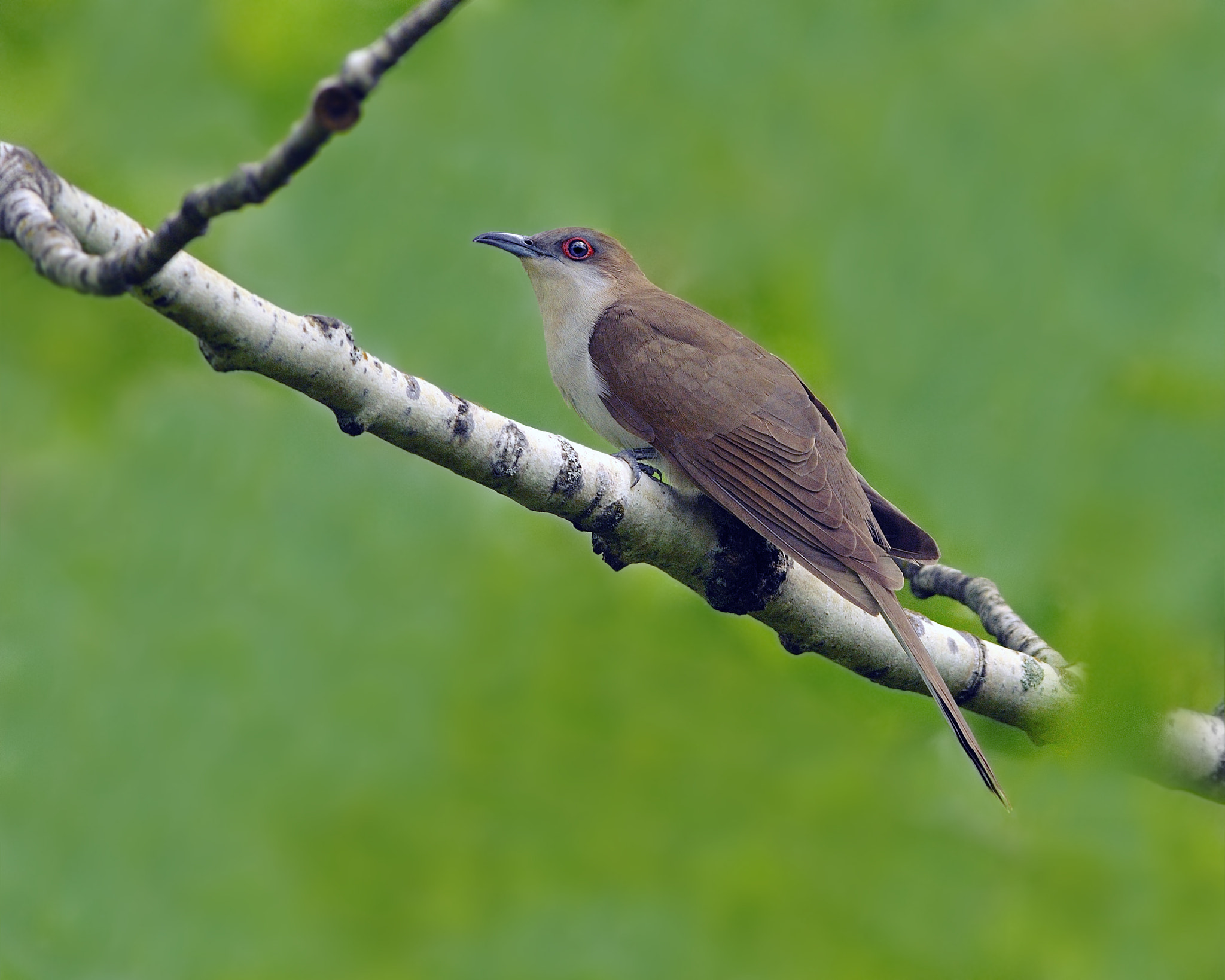 Photograph Black-billed Cuckoo by Tony Beck on 500px