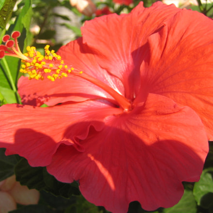 hibiscus, Canon POWERSHOT SD300
