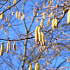Catkins - yellow in the bright blue sky, February