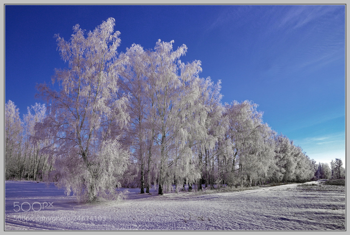 Photograph Russian birches.... by Anatoliy Loginov on 500px