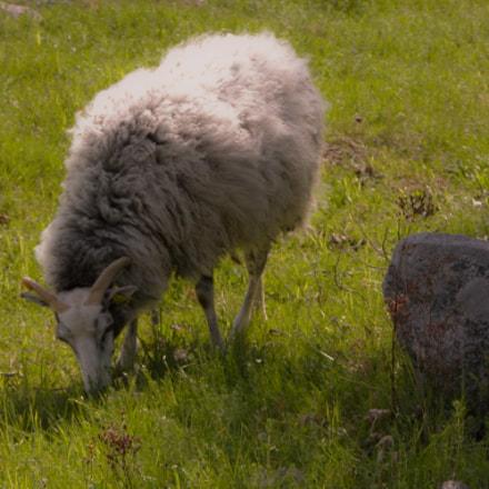 Wool on legs., Nikon E5700