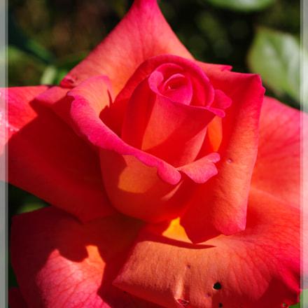 rose, Pentax K20D, smc PENTAX-DA 18-55mm F3.5-5.6 AL II
