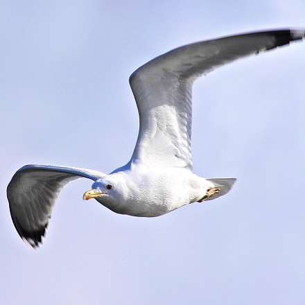 Gull, Canon EOS 1200D