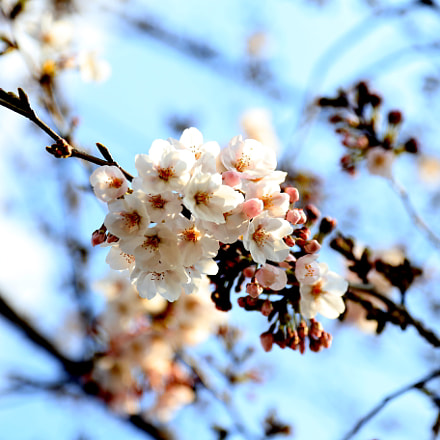 Cherry Blossoms of Spring, Canon EOS 6D, Canon EF 24-105mm f/4L IS