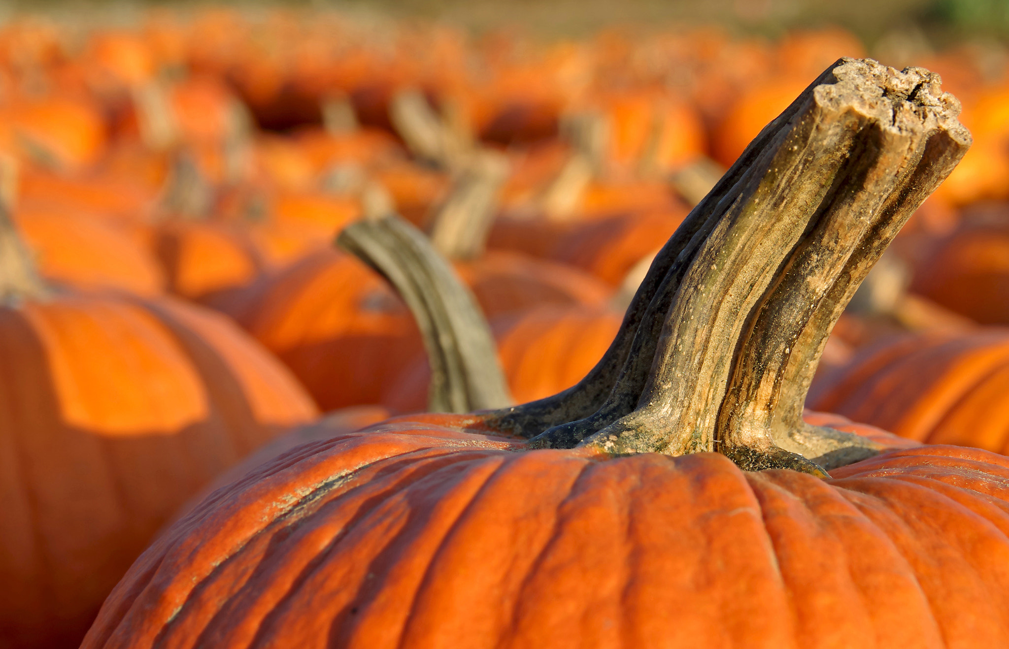 Photograph King of the pumpkins by Dean Cerrati on 500px