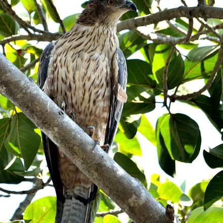Oriental honey buzzard (F), Nikon D7000, Sigma 150-500mm F5-6.3 DG OS APO HSM