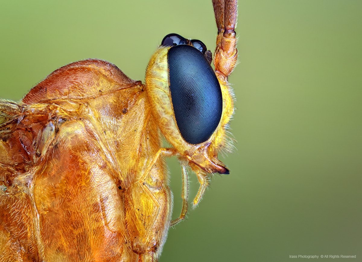 Photograph Parasitoid Wasp. by ireneusz irass walędzik on 500px