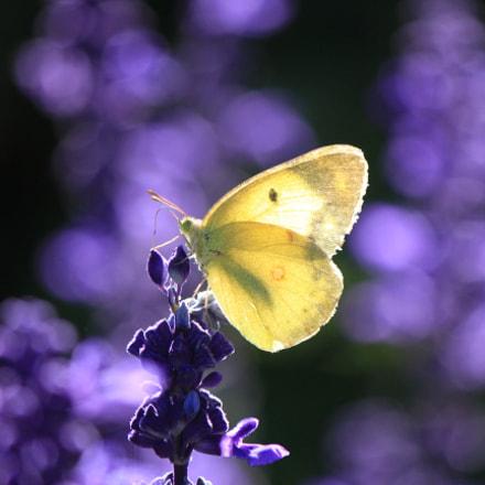 butterfly蝴蝶, Canon EOS 7D, Canon EF-S 55-250mm f/4-5.6 IS II