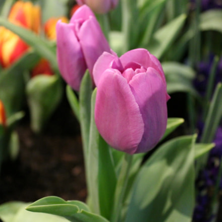 Tulips, Canada Blooms, Toronto, Canon EOS REBEL T2I, Canon EF-S 18-55mm f/3.5-5.6 IS