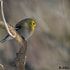American Goldfinch (winter female)