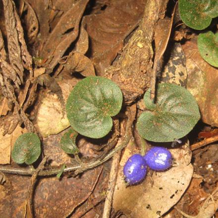Coccocypselum lanceolatum, Canon POWERSHOT SD1000