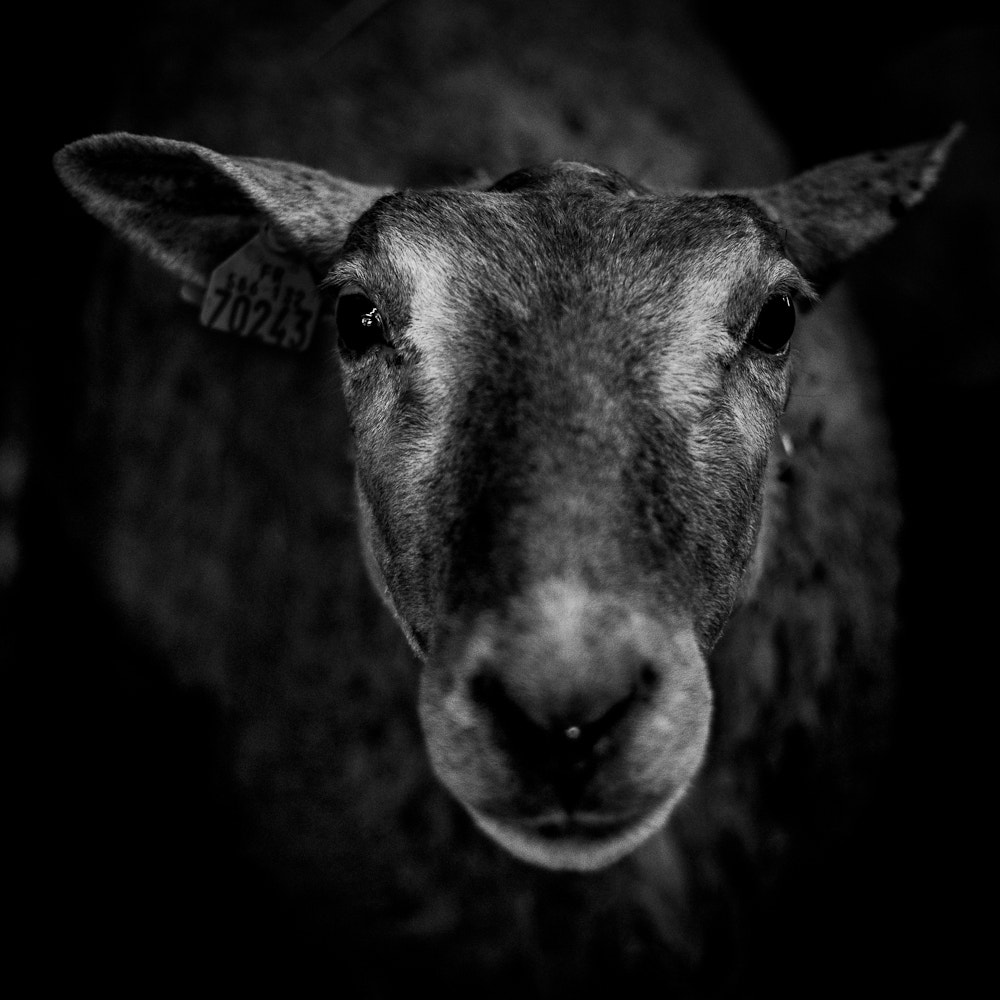 Photograph sheep by philippe launois on 500px
