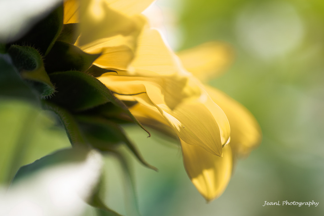 Photograph Sun Flower by Jean Li on 500px