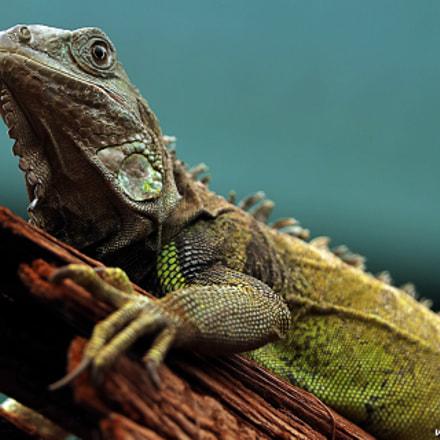 Green Iguana, Canon EOS-1D X MARK II, Canon EF 300mm f/2.8L IS II USM + 1.4x