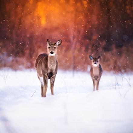 Deer family sunset