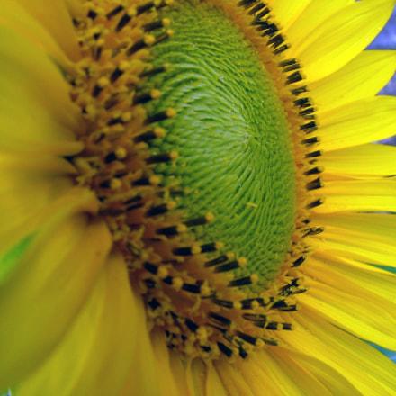 Cape Town Sunflower, Fujifilm FinePix S5000