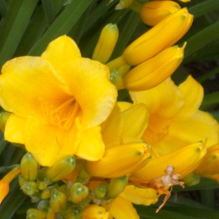 Yellow Lilies, Nikon COOLPIX L31