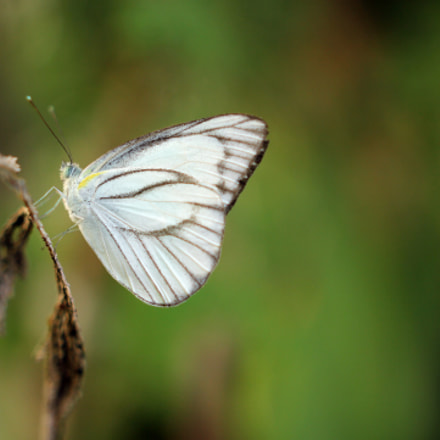 White Butterfly, Canon EOS 60D, Sigma 24mm f/1.4 DG HSM | A