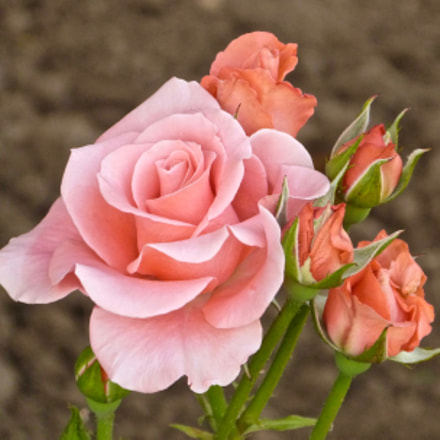 Rose and Buds, Panasonic DMC-FZ47