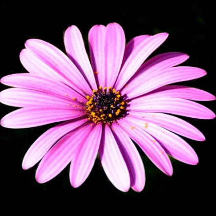 Purple Daisy, Nikon D7200, AF-S DX Nikkor 18-140mm f/3.5-5.6G ED VR