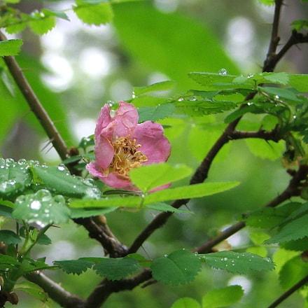 Wild Rose, Fujifilm FinePix S5100